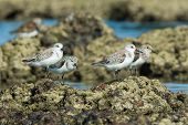 4 Sanderling (caladris Alba) Standing On Barnacle Covered Rocks At Low Tide