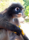 Spectacled Langur (trachypithecus Obscurus) Eating Banana