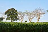 Tobacco's Field