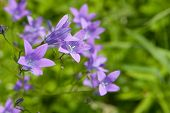 Spreading Bellflower (campanula Patula)
