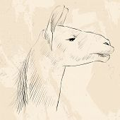 pic of lamas  - sketch of the head Lama - JPG