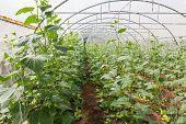 Pumpkin In  Greenhouse