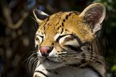 foto of ocelot  - Sleepy Ocelot from South America Close Up - JPG