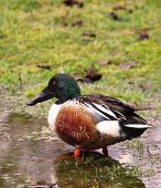 Northern Shoveler Duck standing in water