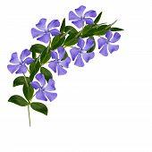 Periwinkle flowers line