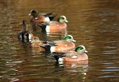 Group of American Wigeon Swimming Duck
