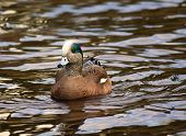 American Wigeon Swimming Duck