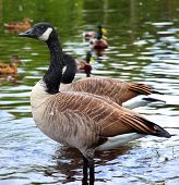 Canadian Goose with Ducks