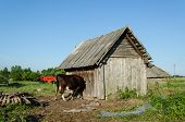 image of dairy barn  - cow put his head muzzle of the hole in the barn wall - JPG