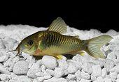 Green Cory Corydora catfish