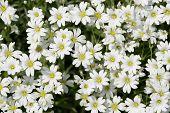 Stellaria Flowers Closeup