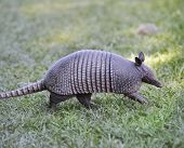 picture of armadillo  - Armadillo Walking In Florida Circle B Bar Reserve - JPG