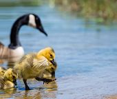 foto of baby goose  - Adorable Canada goose gosling stepping out of lake water - JPG