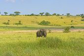 African Elephant On The Savannah