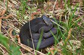 Venomous Snake Black Forest Viper .