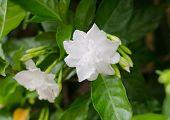 Common Gardenia Or Cape Jasmine