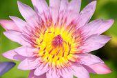 Pink Macro Petals Of Lotus.