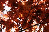 Japanese Fall Foliage
