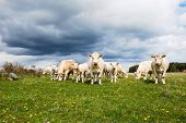 stock photo of charolais  - Herd of charolais cattle with many calves in a pastureland - JPG
