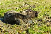 stock photo of mud-hut  - Yang buffalo in the mud at rural Thailand - JPG