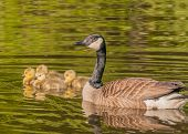 picture of baby goose  - Canada Goose swimming with young goslings in a swamp - JPG