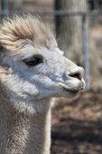 Peruvian Alpaca Closeup - Vicugna pacos