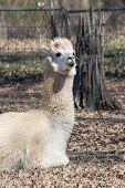 Adult Peruvian Alpaca - Vicugna pacos