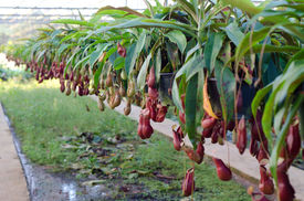 picture of nepenthes-mirabilis  - Tropical pitcher plants or Monkey cups in garden - JPG