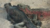 Marine Iguanas in Galapagos Islands