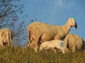 pic of breastfeeding  - mother sheep breastfeeding her little lamb in the midst of the flock - JPG