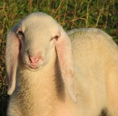 Young Lamb With The Soft White Wool On The Lawn In The Mountains