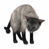 Siamese Cat