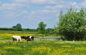 Spring Landscape With Cows