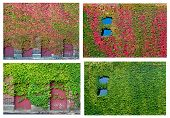 image of english ivy  - Ivy Collage - JPG