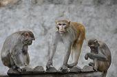 Macaque, Rhesus (Macaca mulatta)