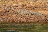 Nile crocodile (Crocodylus niloticus) basking on muddy river bank, South Africa