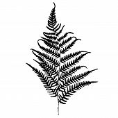 Fern silhouette. Isolated on white background