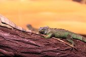 Chinese Water Dragon On Branch Tree