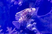 Beautiful striped fish in  aquarium