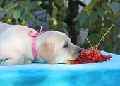 Yellow Labrador Puppy Playing With Guelder-rose