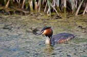 picture of great crested grebe  - Great Crested Grebe in the city of Vitoria