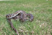 foto of harmless snakes  - This is a photograph of a Prairie Kingsnake in some grass - JPG