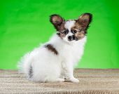 Portrait Beautiful Papillon Puppy