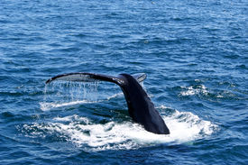 foto of whale-tail  - Water falls from the tail fluke of a humpback whale as it begins to dive - JPG
