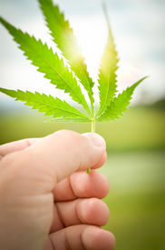 image of marijuana leaf  - Human hand holding a cannabis or marijuana leaf against the sun