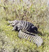 image of wetland  - American Alligator  - JPG