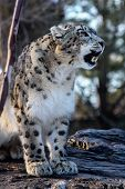 pic of snow-leopard  - Snow Leopard  - JPG