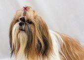 stock photo of dog breed shih-tzu  - Small dog breeds Shih Tzu on white background - JPG