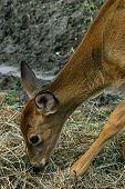 Deer Eating Hay