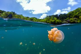 foto of jellyfish  - Split photo of endemic golden jellyfish in lake at the Republic of Palau - JPG